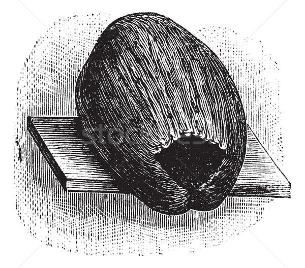 Parakeet Nest made of Coconut Husk and Shell, vintage engraving Stock photo © Morphart