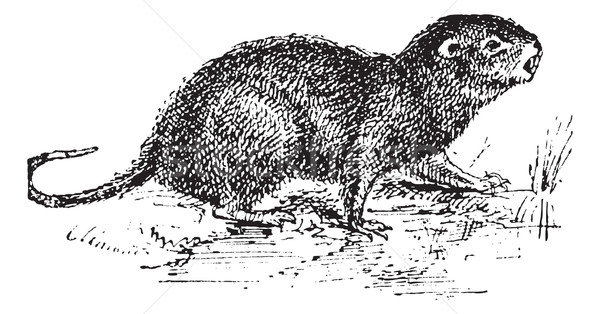 Water Rat, vintage engraving. Stock photo © Morphart