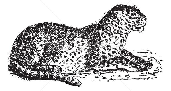 Leopardo vintage gravado ilustração dicionário Foto stock © Morphart