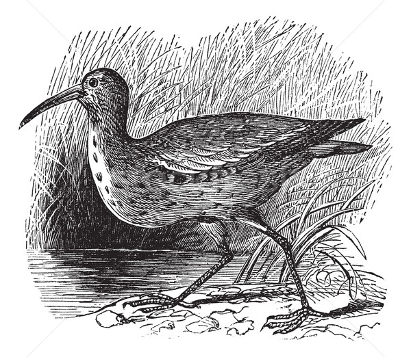 Eskimo Curlew or Northern Curlew or Numenius borealis vintage en Stock photo © Morphart