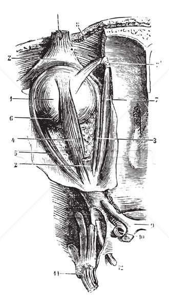 Oog spieren vintage gegraveerd illustratie Stockfoto © Morphart