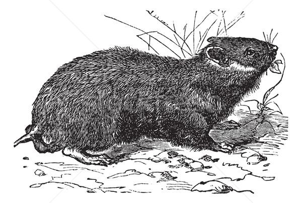 Hamster vintage oude gegraveerd illustratie Stockfoto © Morphart