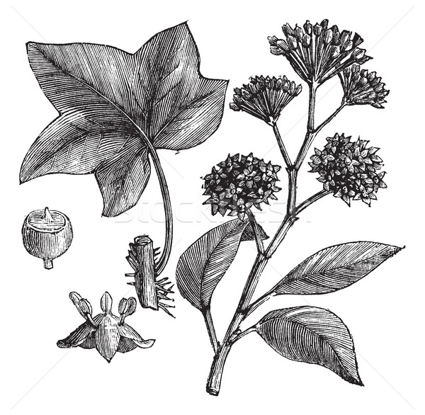 English ivy (Hedera helix) or Common ivy vintage engraving Stock photo © Morphart