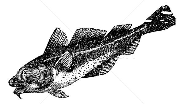 Cod america (morrhua americana), vintage engraving Stock photo © Morphart