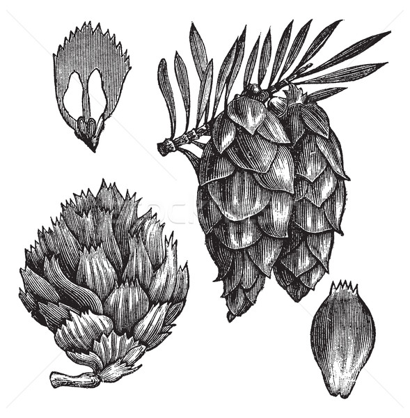 Black Spruce or Picea mariana vintage engraving Stock photo © Morphart