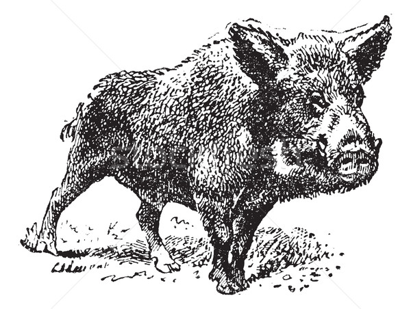 Boar or wild pig, vintage engraving. Stock photo © Morphart