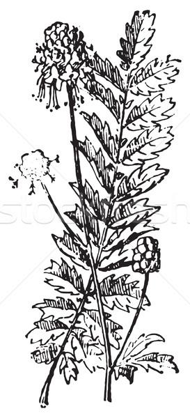 Sanguisorba or Burnet, vintage engraving. Stock photo © Morphart