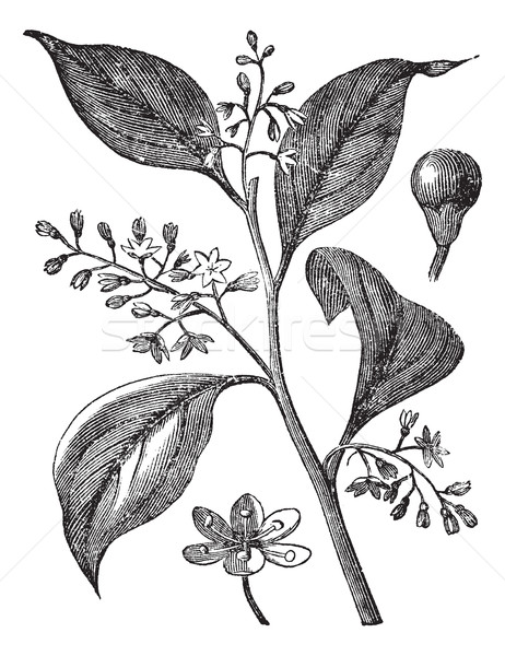 Camphrier officinal or Camphora officinarum vintage engraving Stock photo © Morphart