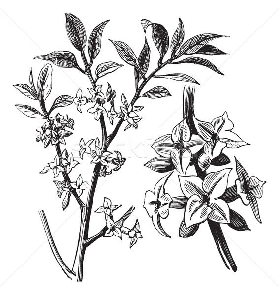 Bağbozumu oyma eski oyulmuş örnek bitki Stok fotoğraf © Morphart