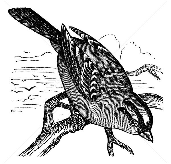 Pardal vintage gravado ilustração enciclopédia preto Foto stock © Morphart