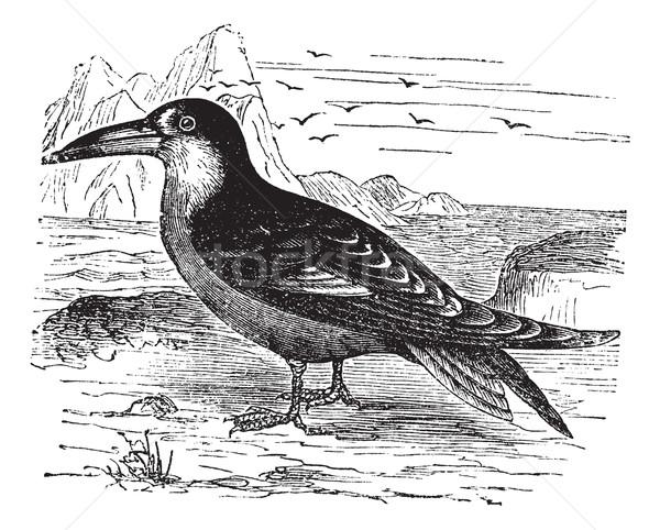 Black Skimmer or Rynchops niger vintage engraving Stock photo © Morphart