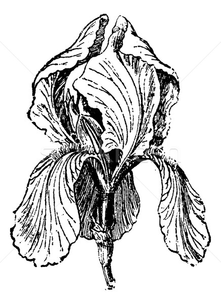 White Iris or Iris albicans, vintage engraving Stock photo © Morphart