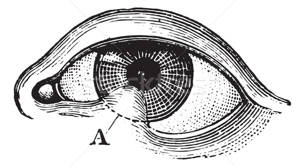 まぶた ヴィンテージ 彫刻 眼 医療 ストックフォト © Morphart