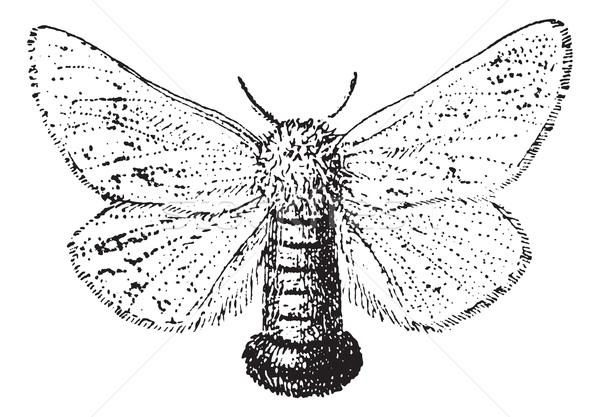 Gypsy Moth or Lymantria dispar, vintage engraving Stock photo © Morphart