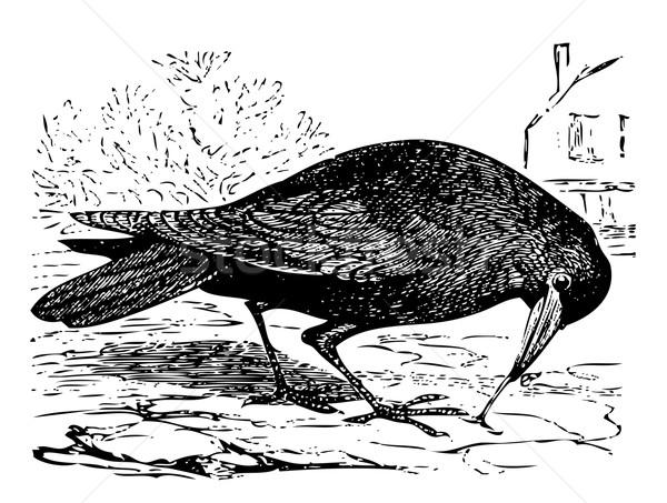 Old engraving of a Rook bird, or Corvus frugilegus Stock photo © Morphart