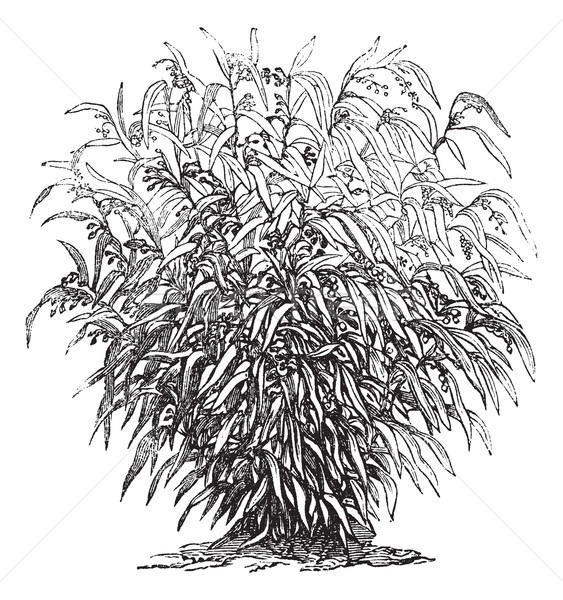 Larmes larme herbe vintage gravure Photo stock © Morphart