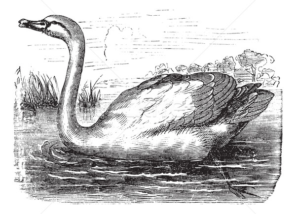 Mute Swan or Cygnus olor, vintage engraving Stock photo © Morphart