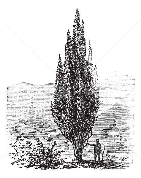 Mediterranean Cypress or Italian Cypress or Tuscan Cypress or Gr Stock photo © Morphart