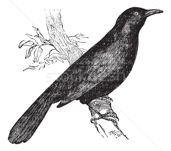 Common blackbird (Turdus merula) or Eurasian Blackbird perched o Stock photo © Morphart