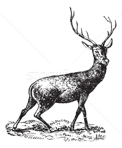 Deer, vintage engraving. Stock photo © Morphart