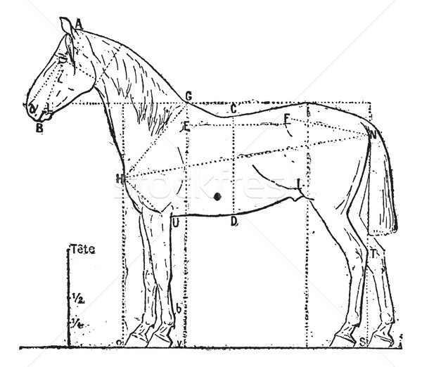 Stock photo: Proportions of the horse, vintage engraving.