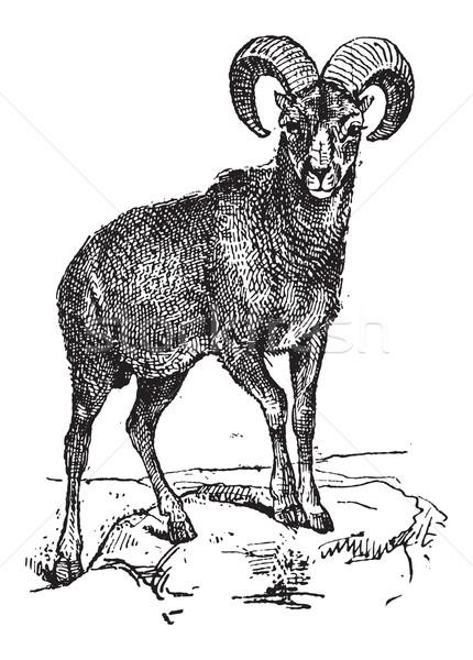 European Mouflon or Ovis orientalis musimon, vintage engraving Stock photo © Morphart