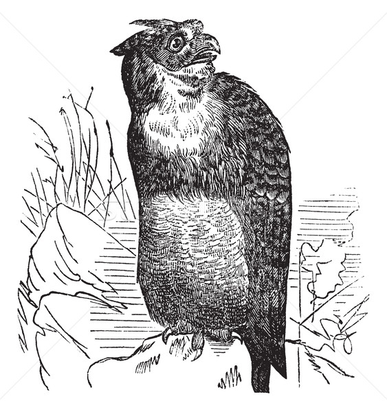 Stock photo: Great Horned Owl or Tiger Owl or Bubo virginianus, vintage engra