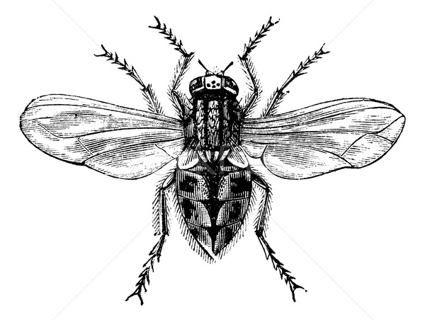 Stock photo: Housefly (Musca domestica) or Common housefly, magnified, vintag
