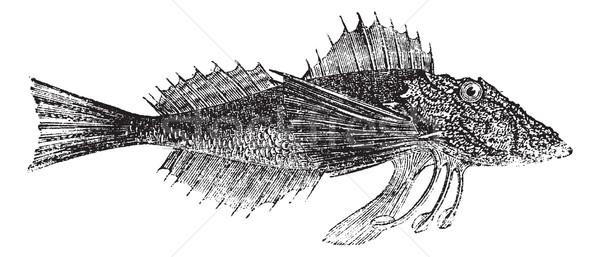 Stock photo: Common Sea Robin or Prionotus carolinus vintage engraving