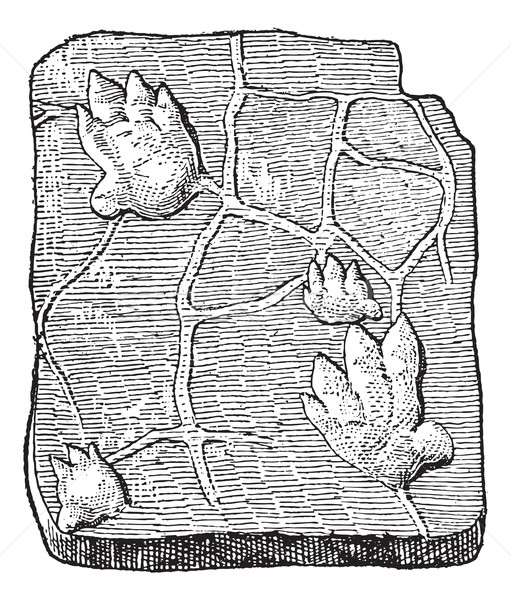 Labyrinthodontia, footprint, vintage engraving. Stock photo © Morphart