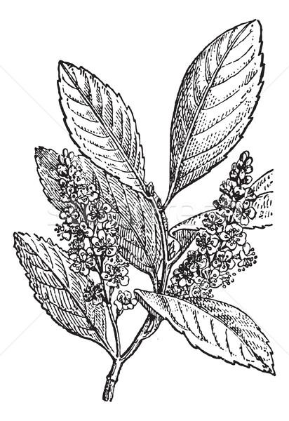 Sour Cherry or Prunus cerasus, vintage engraving Stock photo © Morphart