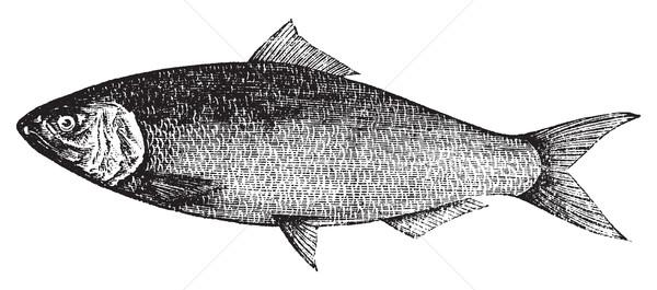 American Shad, Atlantic Shad, Alosa praestabilis or alosa sapidi Stock photo © Morphart