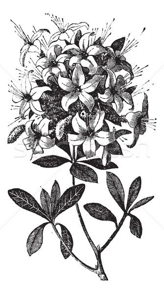 Azalea or Rhododendron vintage engraving Stock photo © Morphart