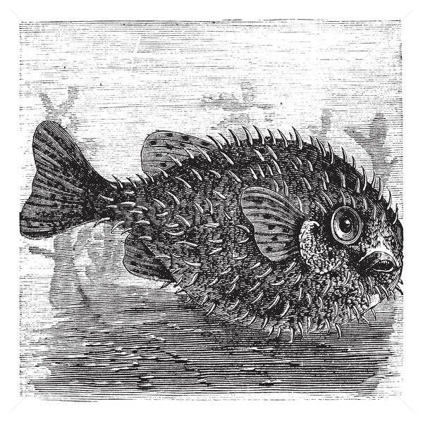 Long-spine Porcupine Fish or Spiny Balloon Fish or Diodon holoca Stock photo © Morphart