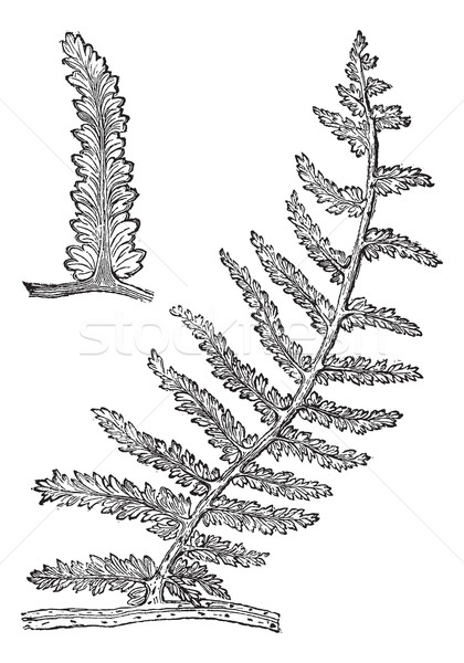 Sphenopteris, vintage engraving Stock photo © Morphart