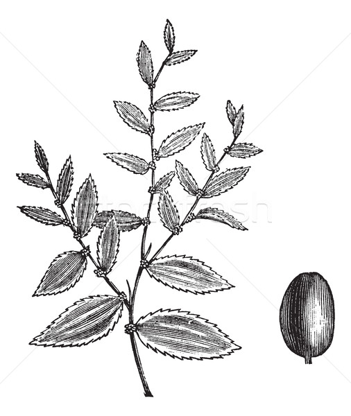 Jujube or Ziziphus jujuba vintage engraving Stock photo © Morphart
