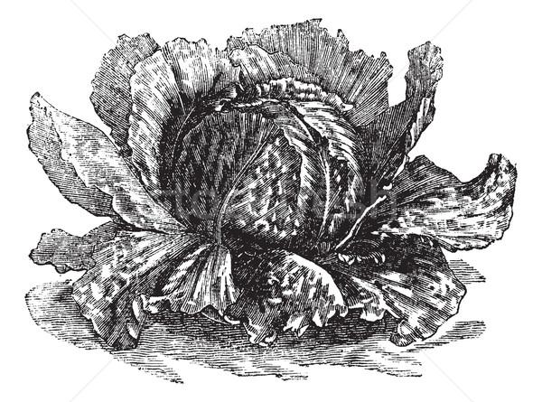 Lettuce (Lactuca sativa) vintage engraving Stock photo © Morphart