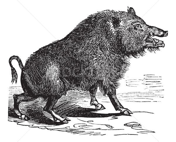 Wild boar or Sus scrofa vintage engraving Stock photo © Morphart