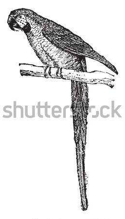 Parakeet, vintage engraving. Stock photo © Morphart