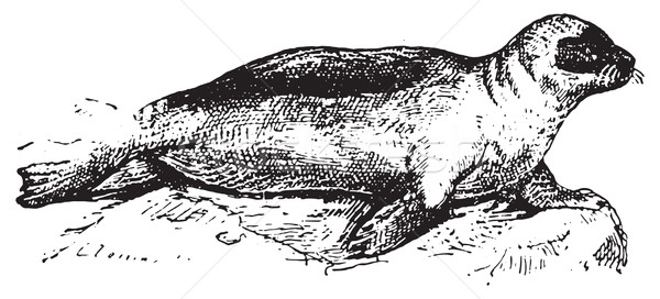 Seal or Pinnipeds, vintage engraving. Stock photo © Morphart