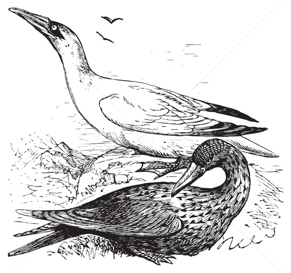 Adult and immature northern gannets or Morus Bassanus Stock photo © Morphart