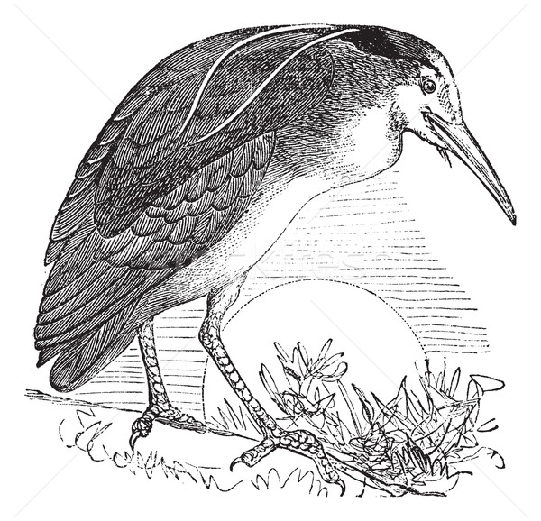 Night Heron or  Nycticorax nycticorax, Bird, North America, vint Stock photo © Morphart