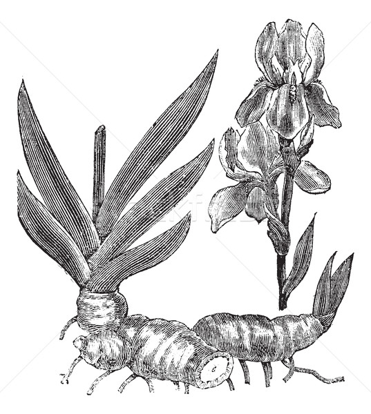 Orris root or Iris florentina vintage engraving Stock photo © Morphart