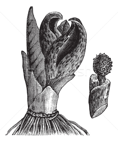 Skunk cabbage (Symplocarpus foetidus) or Eastern Skunk Cabbage,  Stock photo © Morphart