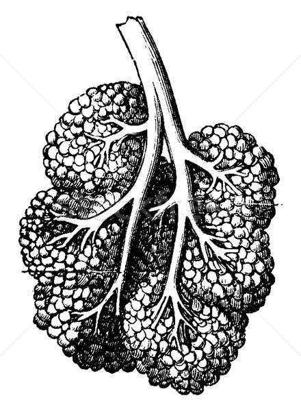 Breast lobe, vintage engraving. Stock photo © Morphart