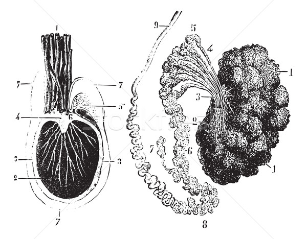 Cross section of the testis, epididymis and tunica vaginalis, vi Stock photo © Morphart
