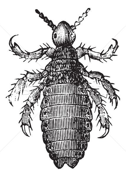 Head lice or Head louse, vintage engraving. Stock photo © Morphart