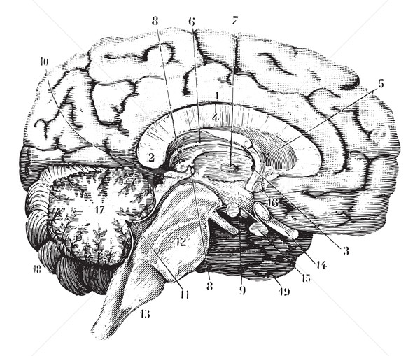 Middle and anterior-posterior section of the brain, vintage engr Stock photo © Morphart