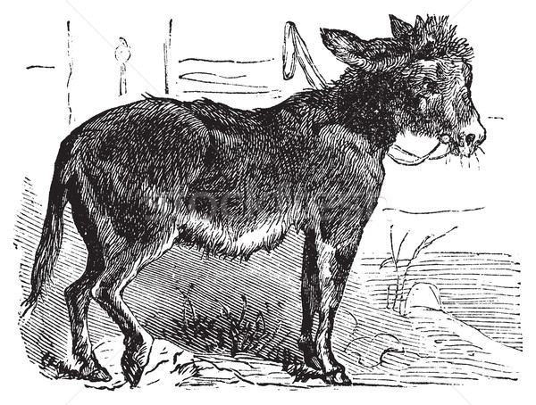Domesticated donkey, ass, asinus vulgaris or Equus africanus asi Stock photo © Morphart