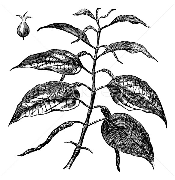 Betel or Piper betle, leaves, vintage engraving. Stock photo © Morphart
